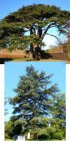 Cedrus libani - cedar of Lebanon
