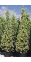 Cupressus arizonica Fastigata Aurea - Arizona Cypress