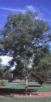 Gleditsia triacanthos inermis - Thornless Honeylocust