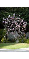 Magnolia soulangeana - Tulpen-Magnolie