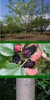 Morus alba - White Mulberry