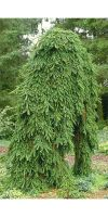 Picea abies `Inversa Pendula `
