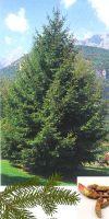 Picea abies - Rotfichte oder Gemeine Fichte