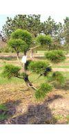 Pinus contorta Latifolia Bonsai