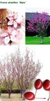 Prunus cerasifera - Purple Leaf Flowering Plum