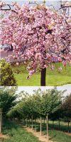 Prunus serrulata `Kanzan` - Nelken-Kirsche`, Japanische Blütenki