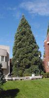 Sequoiadendron giganteum - Sequoiadendron