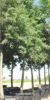 Celtis australis - European nettle tree; Lote tree