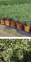 Ilex aquifolium Aureomarginata - European Holly