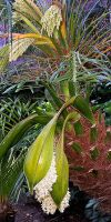 Phoenix roebelenii in a planter