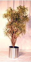Pleomele Song of India in high-grade steel planter