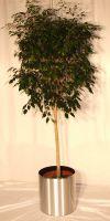 Ficus Danielle -  Stem in a steel planter