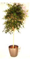 Ficus benjamina Danielle - Stem in a plastic planter