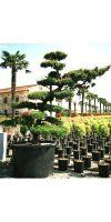 Pinus parviflora -  Bonsai