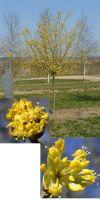 Cornus mas - Kornelkirsche, Gelber Hartriegel
